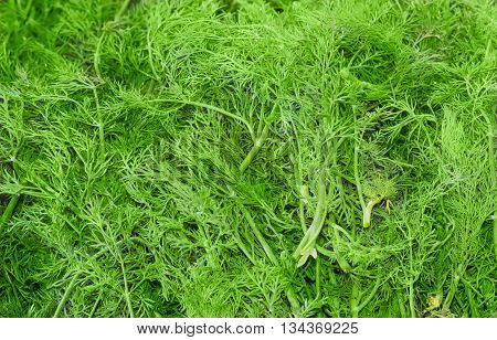 Background of plucked fresh branches dill with water drops
