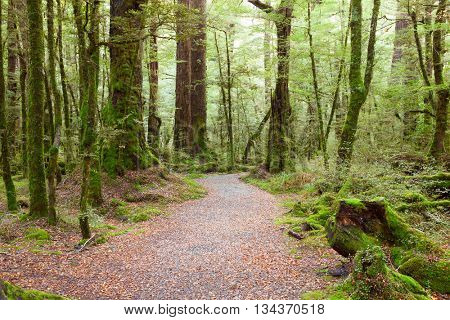 Pathway through rainforest , Fiordland National Park, South Island,  New Zealand