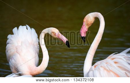 Two beautiful greater flamingos courting in Camargue
