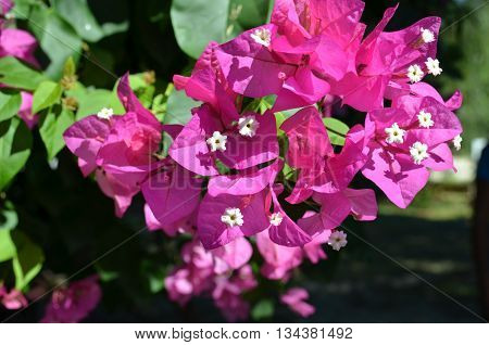 Fragrant pink bougainvillea (Bougainvillea spectabilis) flower with blurred background