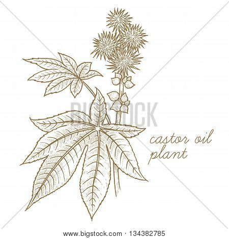Castor oil plant. Vector image isolated on white background. The concept of graphic image of medical plants herbs flowers fruits roots. Designed to create package of health beauty natural product