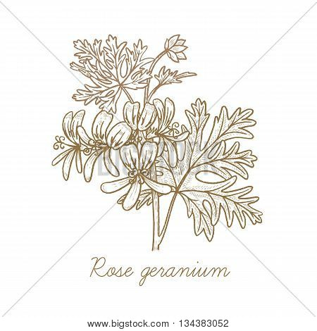 Rose geranium. Vector plant isolated on white background. The concept of graphic image of medical plants herbs flowers fruits roots. Designed to create package of health beauty natural products.