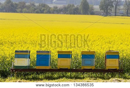 Spring is on! Hives near the blooming rapeseed field