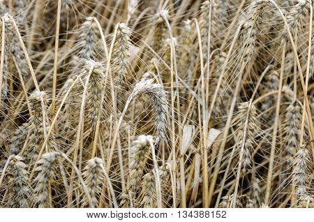 Closeup of a large field whit ripe common wheat just before processing of the grain by the combine