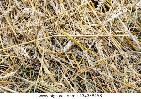 Closeup of residual straw at the field after processing of the grain by the combine.
