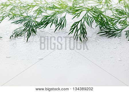 Sprig of green dill on a white background. Wet green dill. Frame with copy space for text.