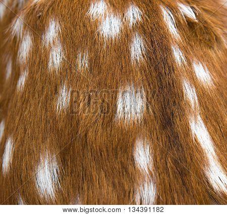 Brown of chital deer skin and fur closeup background