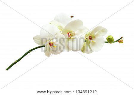 White orchid flowers on the white background