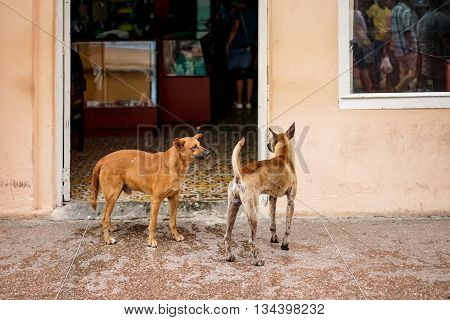 Two Brown playful Street Dogs outside a shop