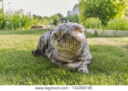 grey cat lying on green grass lawn.