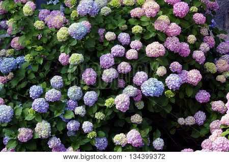 Hydrangea shrub with flowers of different colors