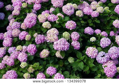 Large shrub hydrangea  with inflorescences pink color