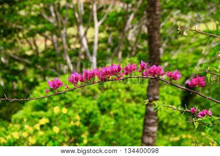 BRANCHE OF FLOWERS PINK  IN CHAMAREL, MAURITIUS ISLAND ,