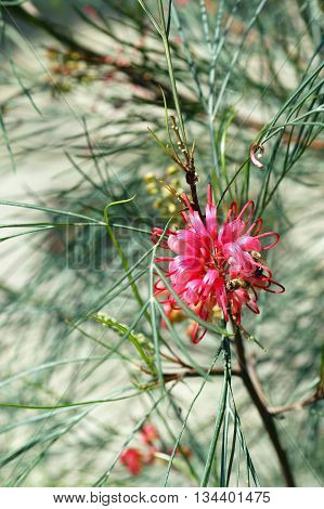 Branch grevillea tree with inflorescence pink color