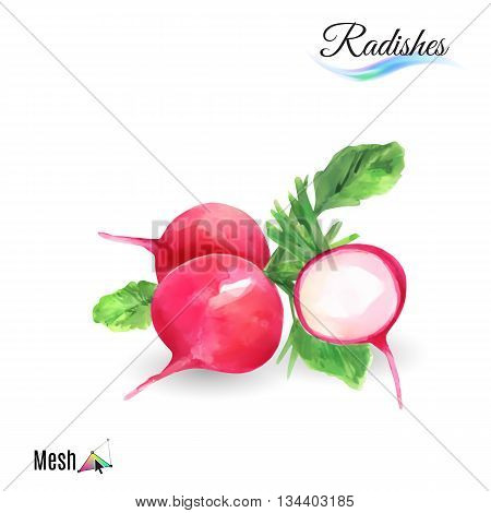 Watercolor radishes plant isolated in white background