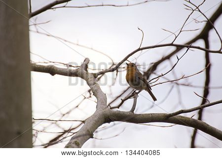 European Robin (erithacus Rubecula) Sitting In A Tree