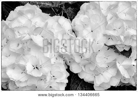 Hydrangea macrophylla Two Hortensia white flowers. Black and white