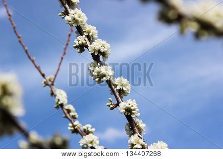 Sprig of plum with white flowers in spring