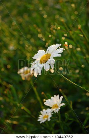Glistening Daisy