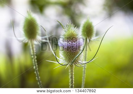 wild milk thistle. Close up shoot. Green background