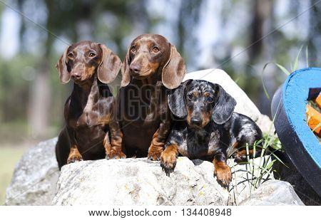 purebred dachshund dogs