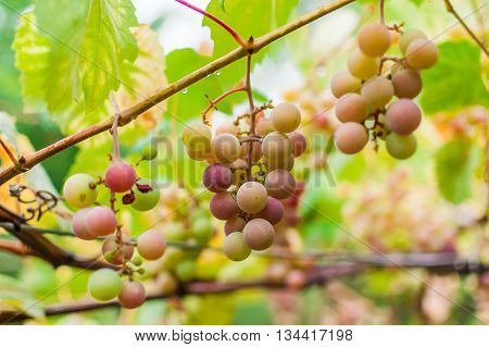 Bunch Of Grapes Ripen On Brunch