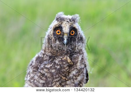 portrait of a little owl, night bird, big eyes