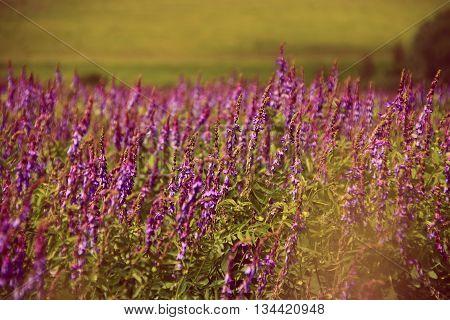 Salvia pratensis. Blooming Salvia purple flowers in summer field