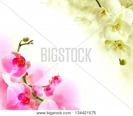 White and pinck orchid flowers ornate summer background