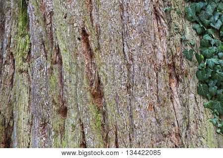 Giant sequoia (Sequoiadendron giganteum) bark macro .