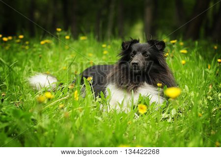 beautiful sheltie dog black and white color in summer lies in the grass