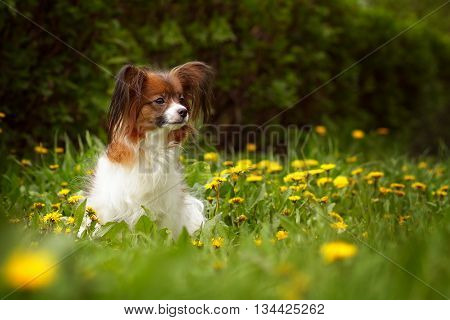 beautiful dog of breed Papillon in the summer sitting in the grass with dandelions