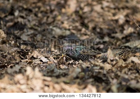 Starling on the ground among dry leaves closeup