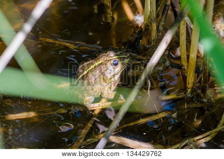 Green Smiling Frog