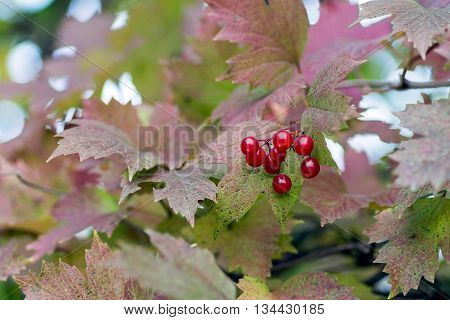 Closeup of bunches of red berries of a Guelder rose or Viburnum opulus shrub on a cloudy day at the autumn season.