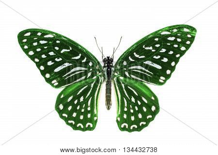 Green Spotted Zebra Butterfly