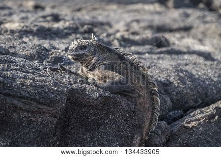 Galapagos iguana with its textured wrinkly skin perched on volcanic lava rocks
