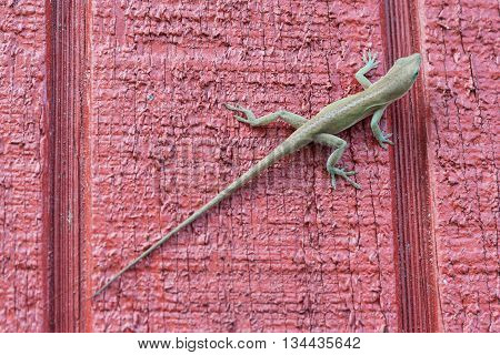 Gecko in state of Texas North America