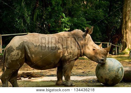 rhinoceros standing inside the wild safari zoo