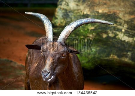 Portrait of brown goat in the farm