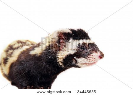 Muzzle of marbled polecat (Vormela peregusna) on white cloth background taken closeup.Vulnerable species in the IUCN Red List.
