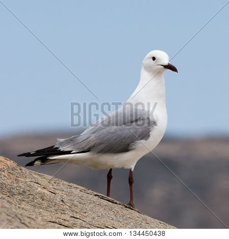 Seagull At Luederitz Bay