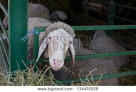 Sheep Stuck Head In Fence