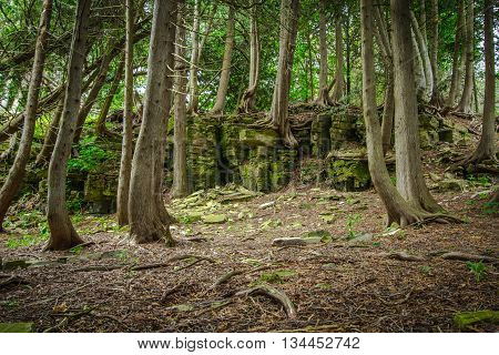 Cedar Forest In Northern Michigan. Ancient cedar trees stubbornly cling to a rock face in the forests of northern Michigan's Upper Peninsula.