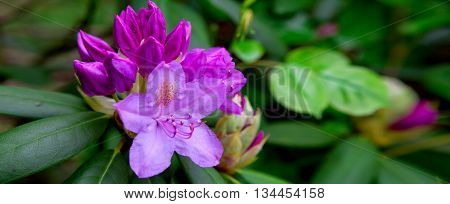 Closeup photo of a beautiful pink Rhododendron.