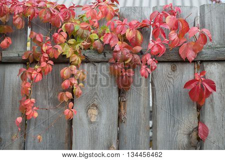 Close-up view of colorful autumnal red leaves of Virginia creeper on top of row wooden fence.