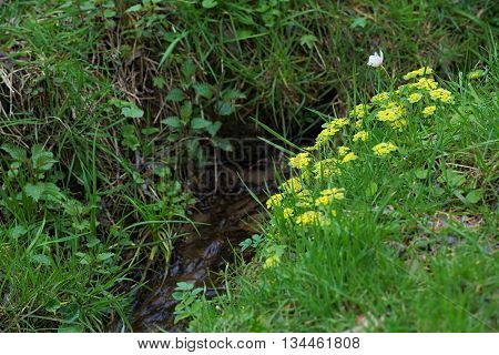 Alternate Leaved Golden Saxifrage (chrysosplenium Alternifolium) At A Stream