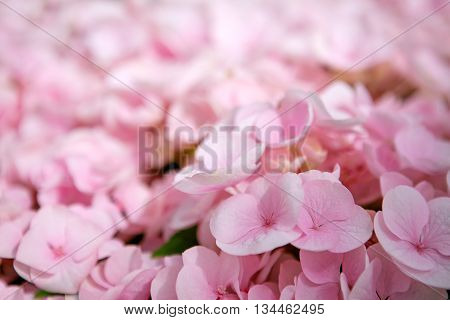 Pink flower hydrangea background close up. Close up of a group pink hydrangea.
