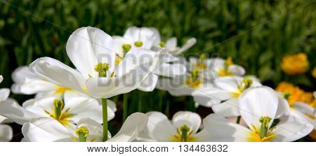 Beautiful white tulips in the spring time.Macro shot.Close-up of closely bundled tulips.