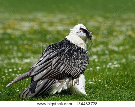 Bearded vulture (Gypaetus barbatus) istanding in grass in its habitat